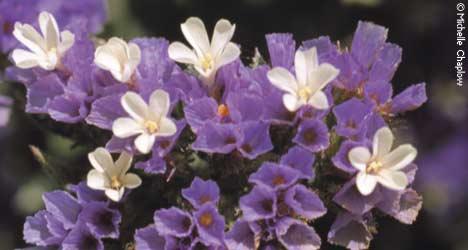 Wild Sea lavender in the Bahía de Cádiz.