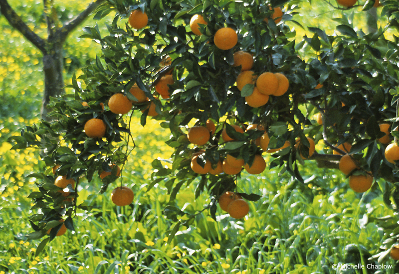 If you are lucky enough, pick the oranges from your own trees © Michelle Chaplow