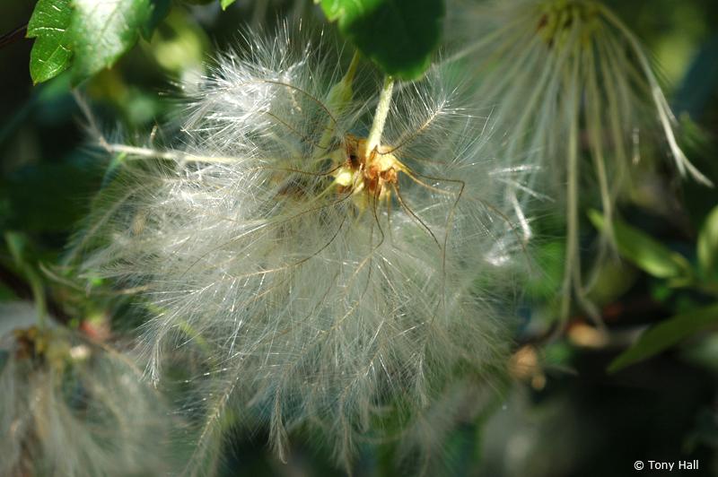The winter clematis, Clematis Cirrhosa © Tony Hall