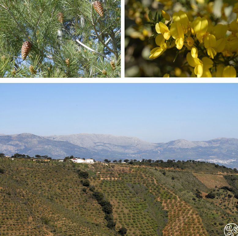 Pines, yellow gorse and cultivated olives in the Montes de Malaga ©  Chaplow