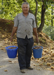 Pepe Gonzalez collecting Chestnuts