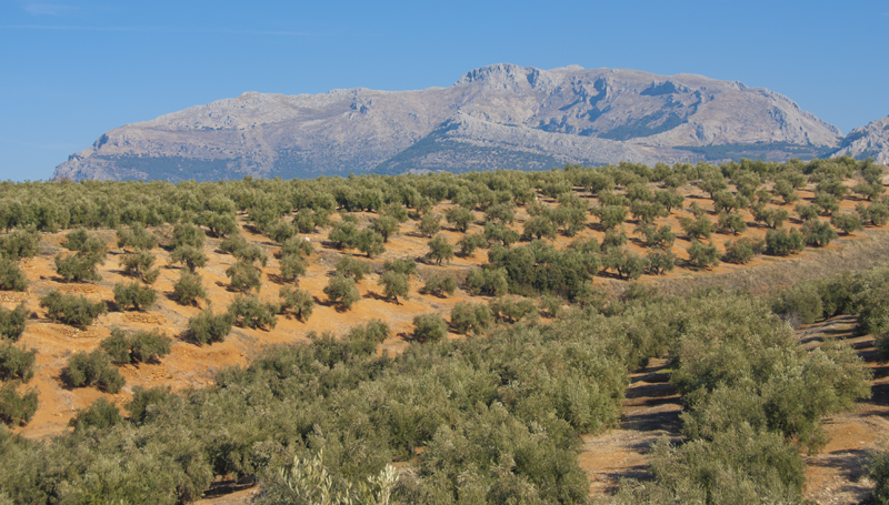 Olive groves near Ubeda, Jaen, Andalucia. © Michelle Chaplow