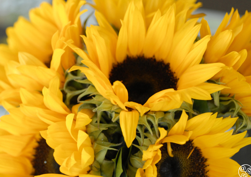 Sunflowers are harvested in Castellar © Michelle Chaplow