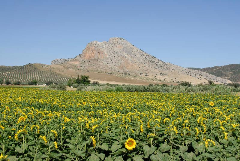 Córdoba Sunflowers © Michelle Chaplow