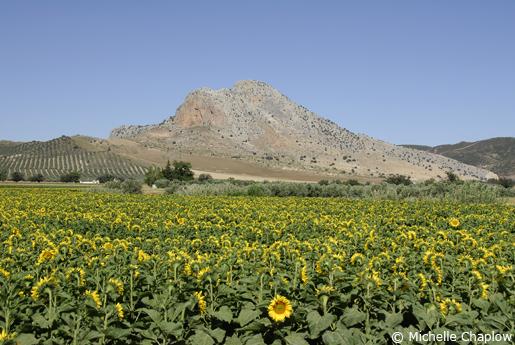 Cordoba sunflowers © Michelle Chaplow