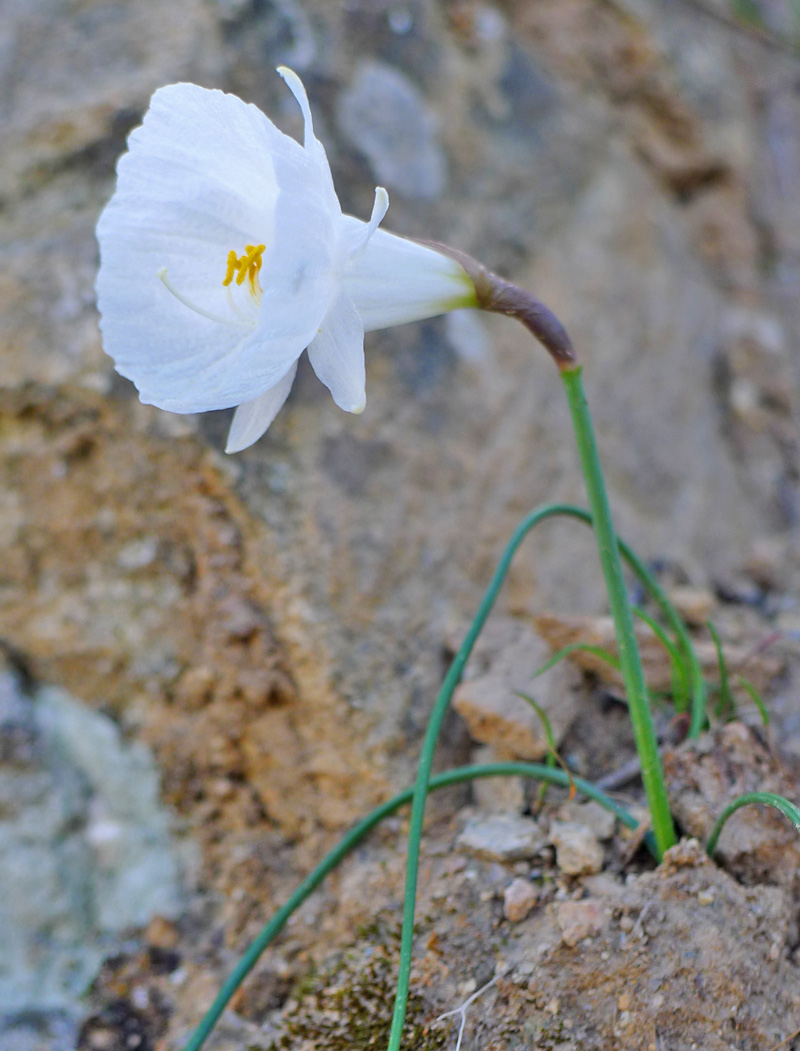 White Hooped-Petticoat Daffodil - Narcissus cantabricus.  © Tony Hall