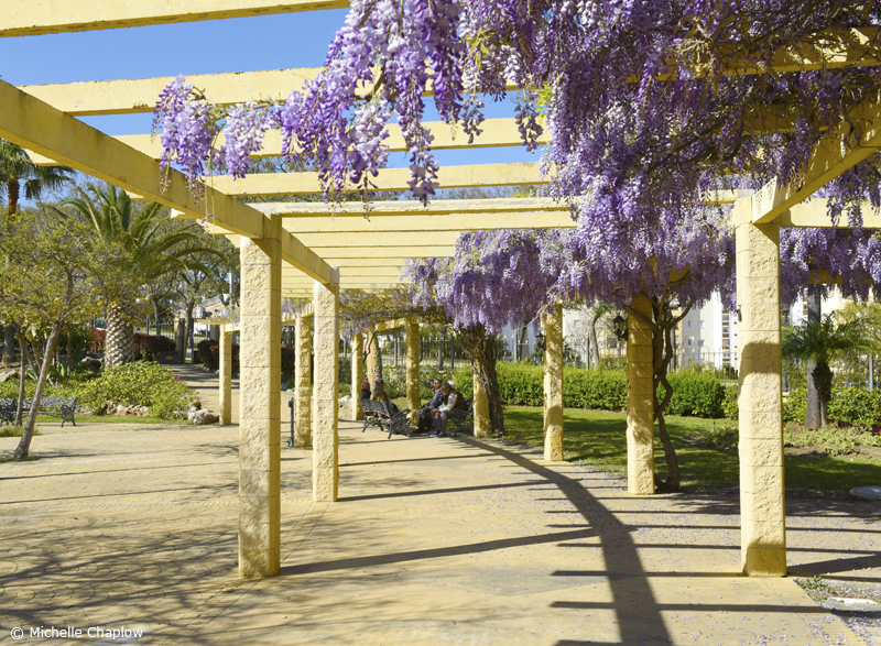 Glorious Cascading Wisteria in El Calvario Park Estepona  © Michelle Chaplow