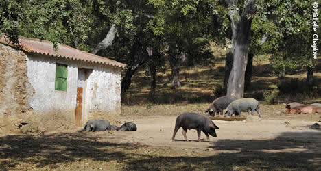Spain's finest ham comes from these acorn-fed Iberian pigs in the Sierra de Aracena. Photo: Michelle Chaplow