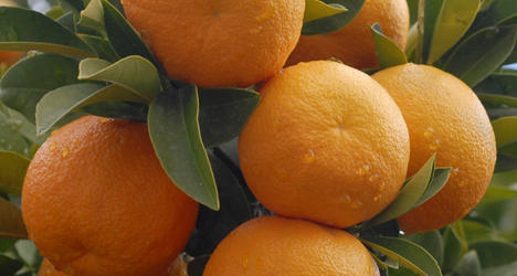 © MVC The finest and most highly prized marmalade is made from the Seville orange.