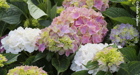 Adorn your garden with a Hydrangea, common names Hydrangea and Hortensia.