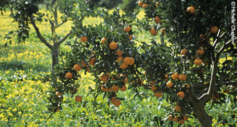 © MVC Vitamin C rich oranges, locally grown and harvested in Andalucia