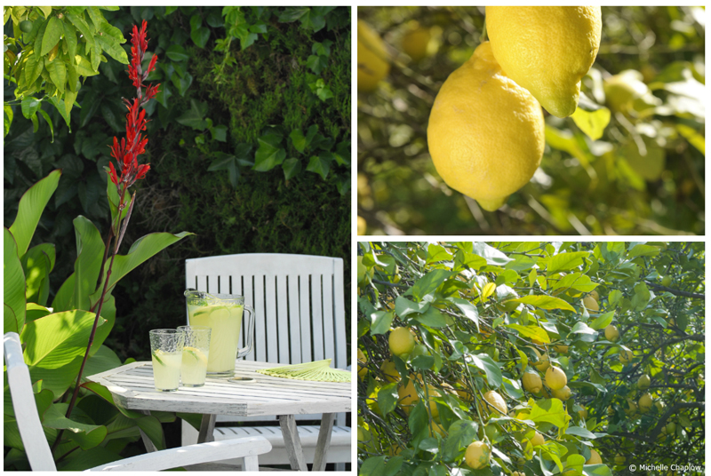 Sun-drenched lemons and homemade lemonade © Michelle Chaplow