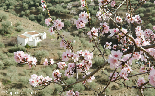 Almond trees are in blossom from the end of January around villages such as Sedella. © Sophie Carefull
