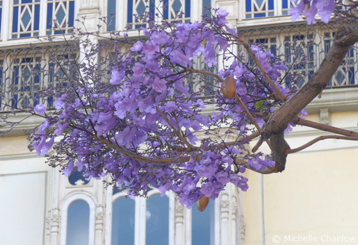 Jacaranda tree in flower in the Plaza de la Merced. © Michelle Chaplow