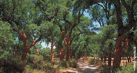 © Michelle Chaplow Cork oak forests, Andalucia
