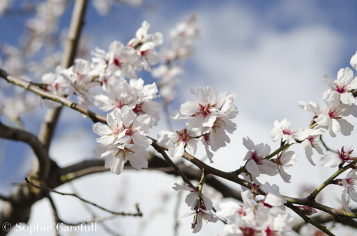 The beautiful almond blossom of the Axarquia region. © Sophie Carefull