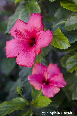 Pink Hibiscus flowers in Plaza de las Flores. © Sophie Carefull