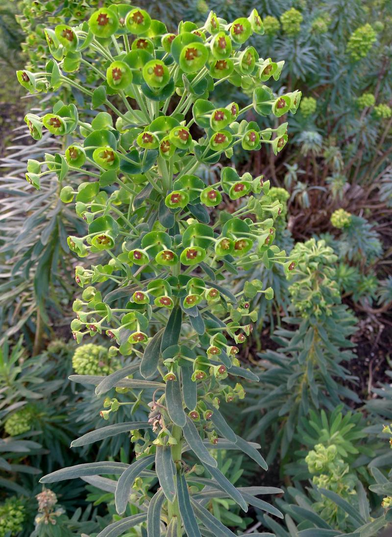 Large Mediterranean Spurge - Euphorbia characias ©Tony Hall