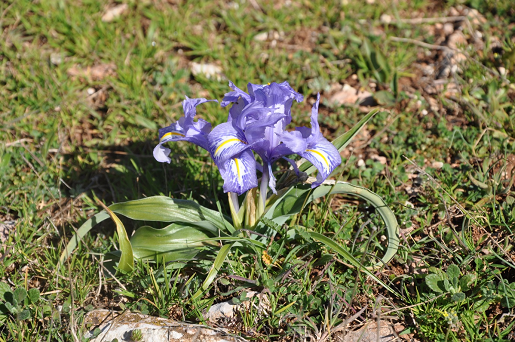 Wide-leaved Iris - Iris planifolia ©Tony Hall