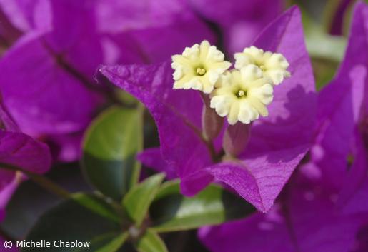 Bougainvillea flourishes in Andalucia.© Michelle Chaplow