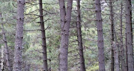 © Michelle Chaplow Spanish fir trees.