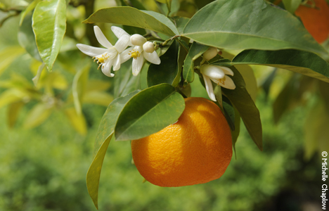 Beliebt Bevorzugt Seville Oranges in Andalucia, bitter oranges & marmelade, food and #VP_13
