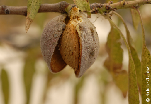 In July and August the shell begins to split, allowing the almond to dry. © Michelle Chaplow .