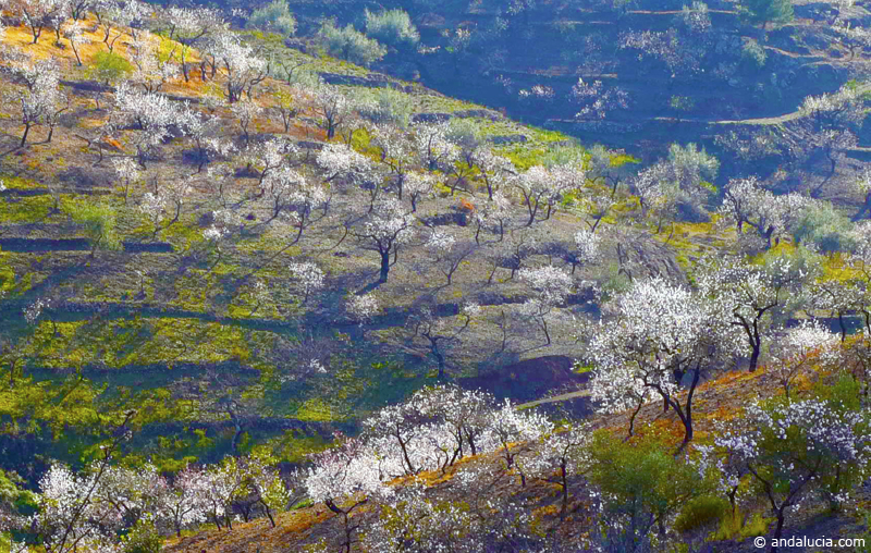 Late January, early February is the time to see the almond in bloom in Arenas ©Michelle Chaplow