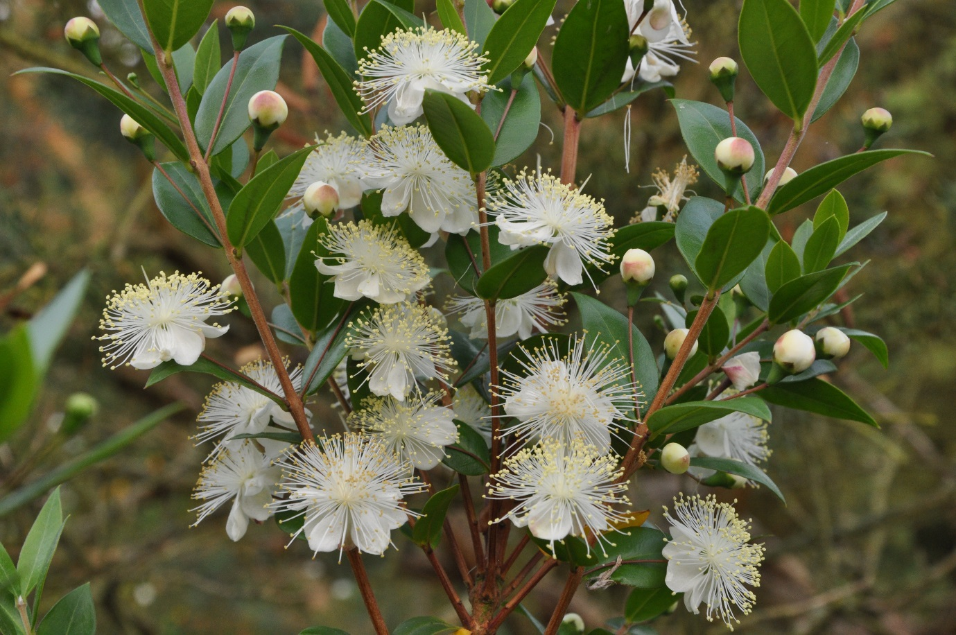 Myrtus communis - Common Myrtle ©Tony Hall