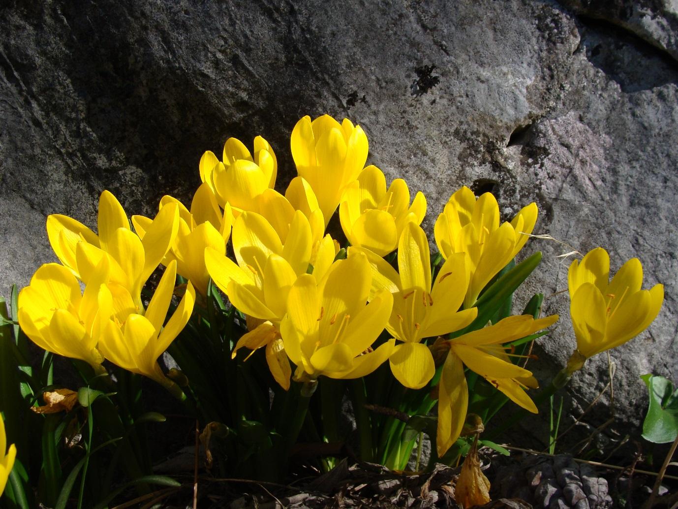Common Sternbergia - Sternbergia lutea ©Tony Hall