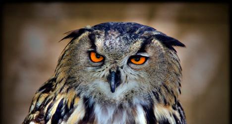 © Michelle Chaplow Royal Owl,(Búho Real.