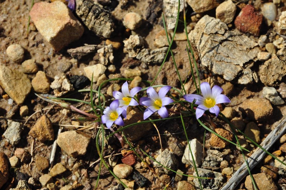 Romulea bulbocodium ©Tony Hall