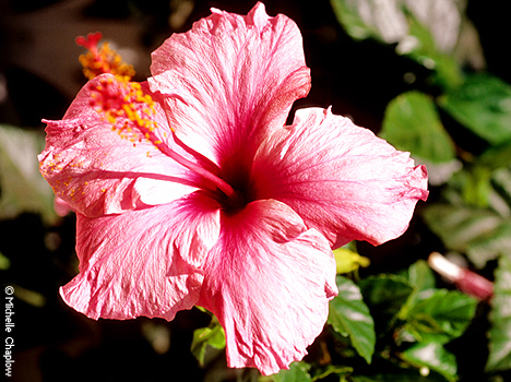 © Michelle Chaplow Typical Mediterranean Hibiscus