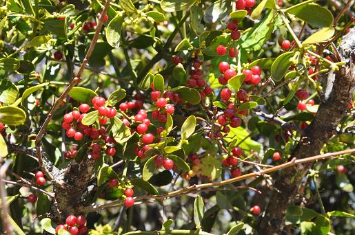 Red-berried Mistletoe - Viscum cruciatum ©Tony Hall