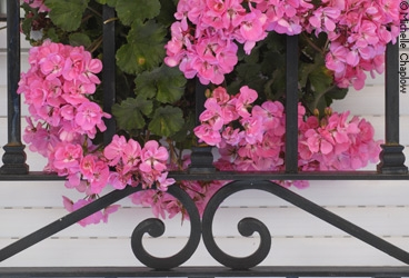 Geraniums add a delightful touch to windows and patios. © Michelle Chaplow