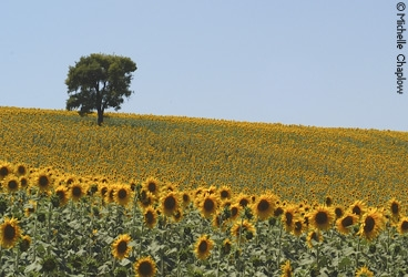 Sunflowers flourish in Andalucia. © Michelle Chaplow